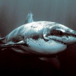 portrait requin