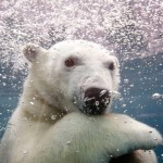 Ganuk, the polar bear cub, swims under water at the St-Felicien Wildlife Zoo
